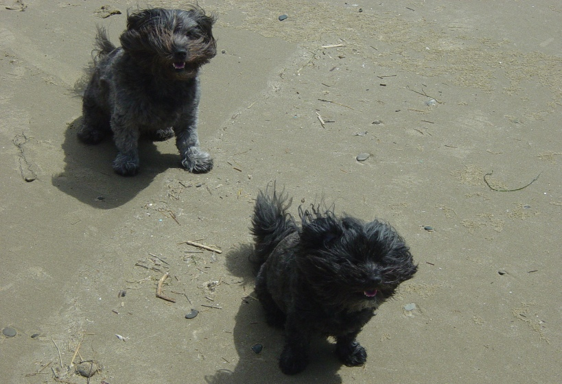 Terriers at the Beach